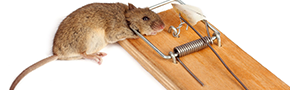 Rodent Control | Budget Pest Control - Cleveland, OH